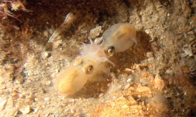 pareja de calamares cola de botella durante la fecundación