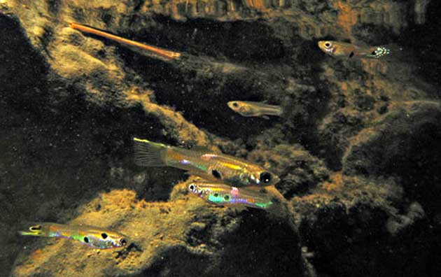 peces guppy (Poecilia reticulata)