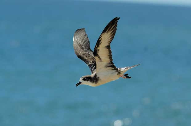 petrel hawaiano en vuelo (Pterodroma sandwichensis)