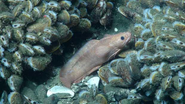 pez de aguas profundas no identificado