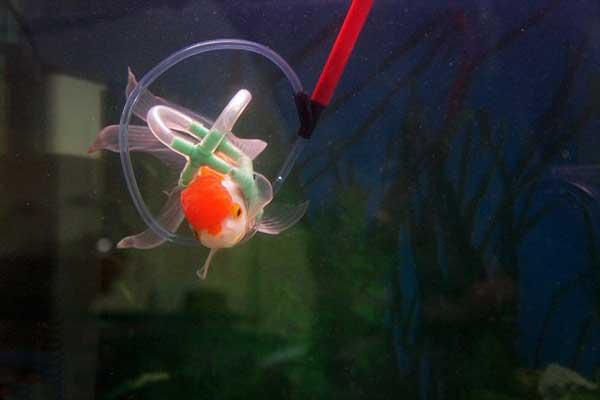 el pez Einstein con su chaleco salvavidas