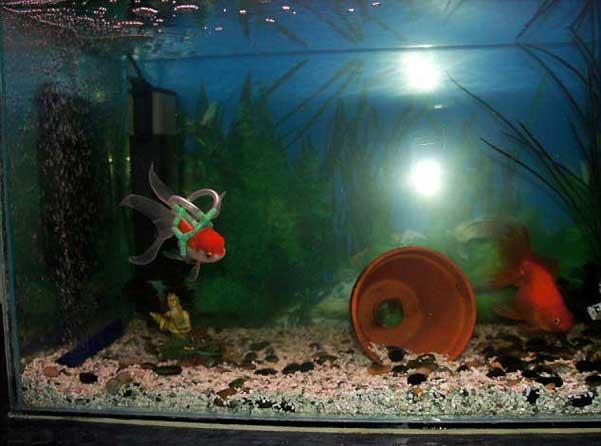 el pez Einstein en su tanque reformado