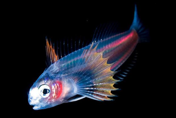 pez luminiscente, por Joshua Lambus