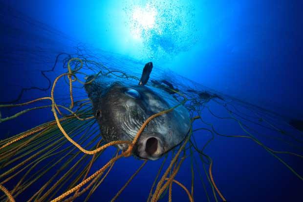 pez luna atrapado en una red atunera