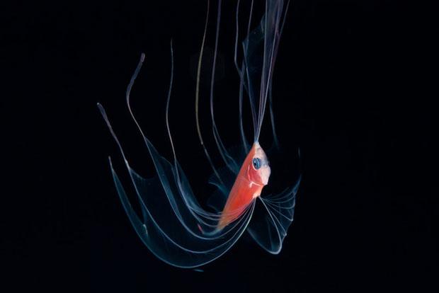 pez rojo bioluminiscente, por Joshua Lambus