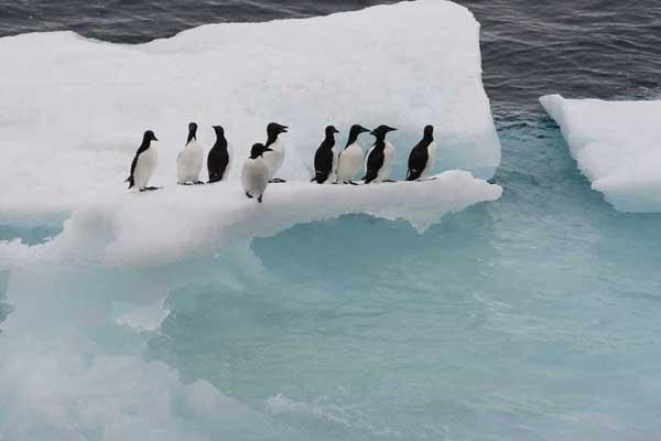 pinguinos en el hielo marino