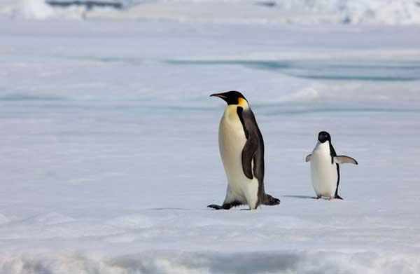 Los pingüinos no pueden volar, resuelto el misterio