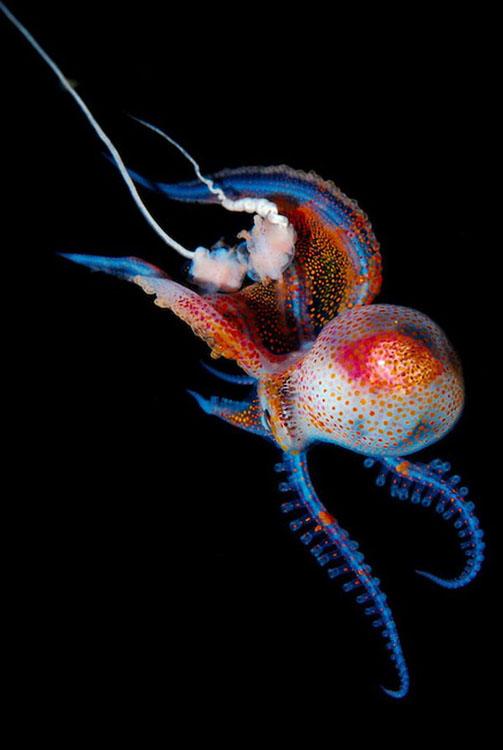 pulpo bioluminiscente, por Joshua Lambus