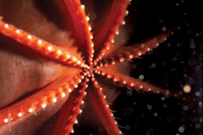 pulpo tonto luminoso (Stauroteuthis syrtensis) detalle de fotóforos