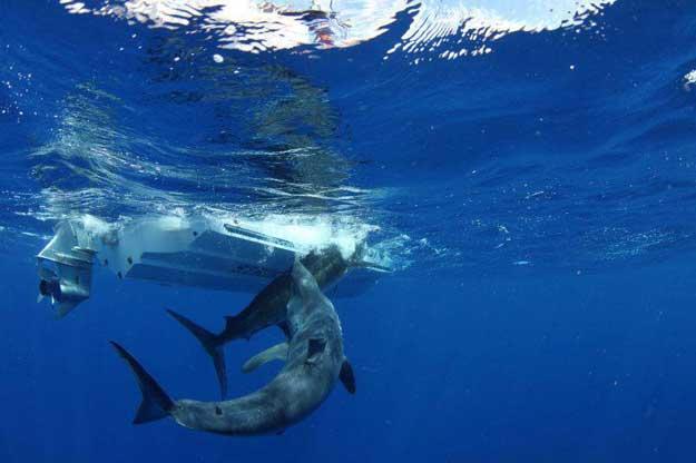 tiburón mako ataca a un marlin
