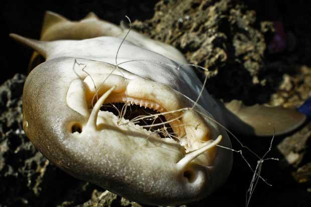 tiburón muerto por ingerir plástico
