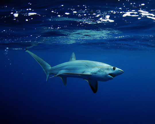 tiburón zorro ojón