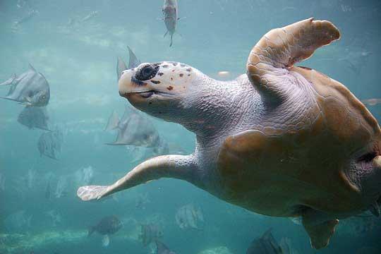 tortuga marina en peligro de extinción