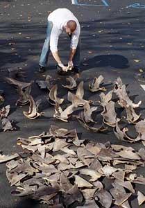 aletas de tiburón cortadas