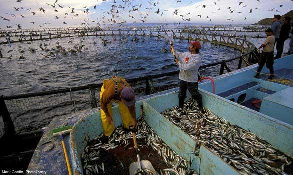 alimentación en acuicultura