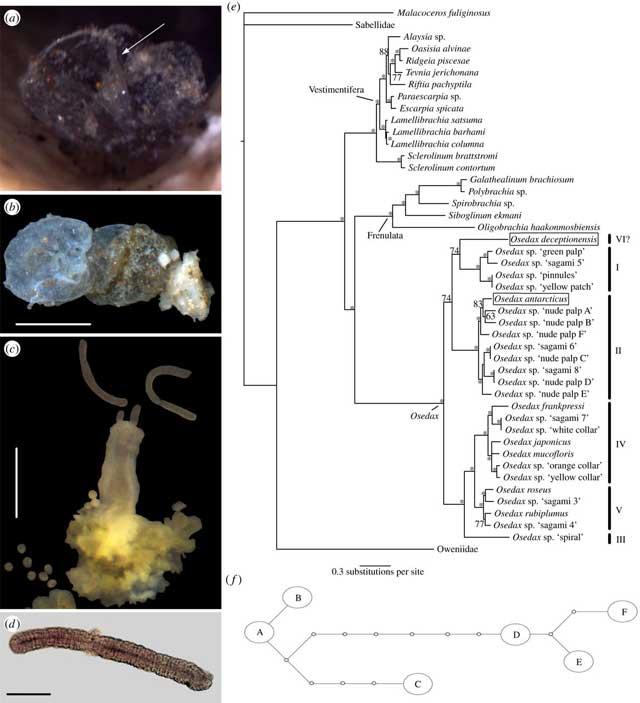 análisis filogenetico del Osedax deceptionensis