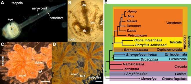 ascidia estrella (Botryllus schlosseri)