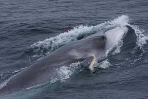 ballena de aleta