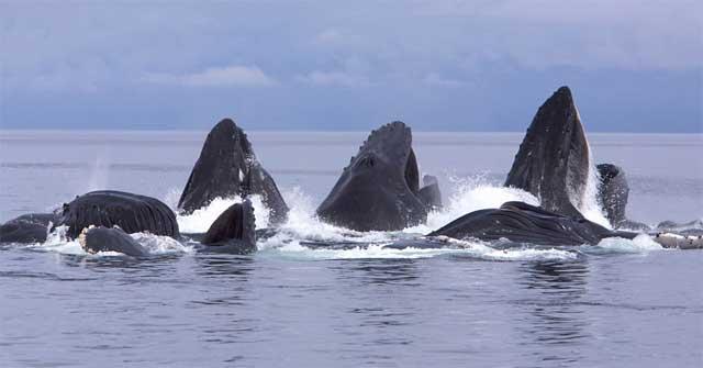 ballenas alimentándose por red de burbujas
