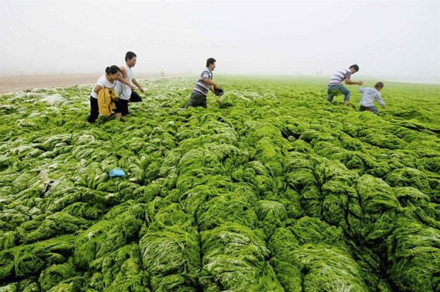 bloom de algas verdes en Qingdao, China