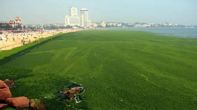 bloom de alga verde Enteromorpha prolifera en Qingdao, China