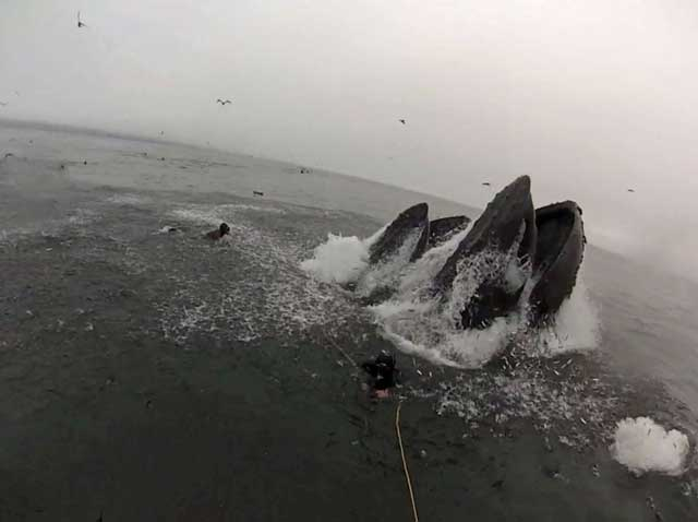 buzos casi devorados durante la alimentación de unas ballenas