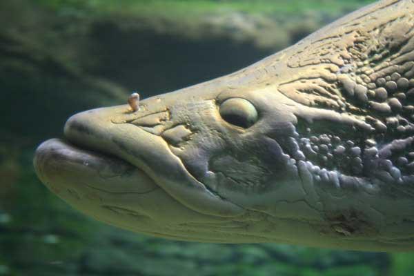 cabeza de pez arapaima de la Amazonía