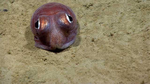 calamar bobtail de ojos saltones
