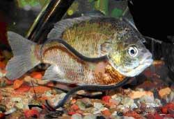 pez candirú se introduce en las branquias de otro pez