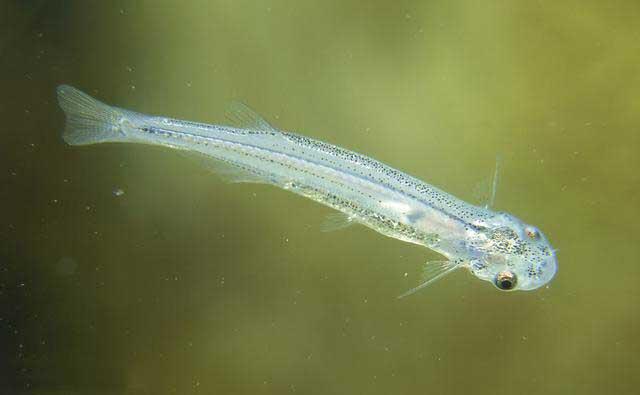 pez candiru