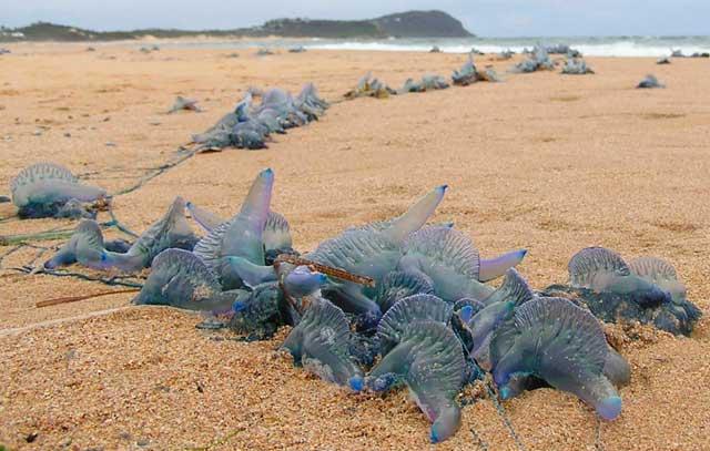 medusa carabela portuguesa (Physalia physalis) en una playa de Australia