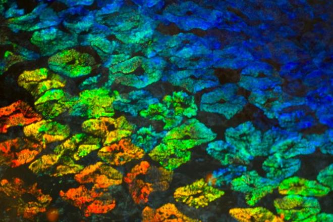 células de colores en la piel de una sepia