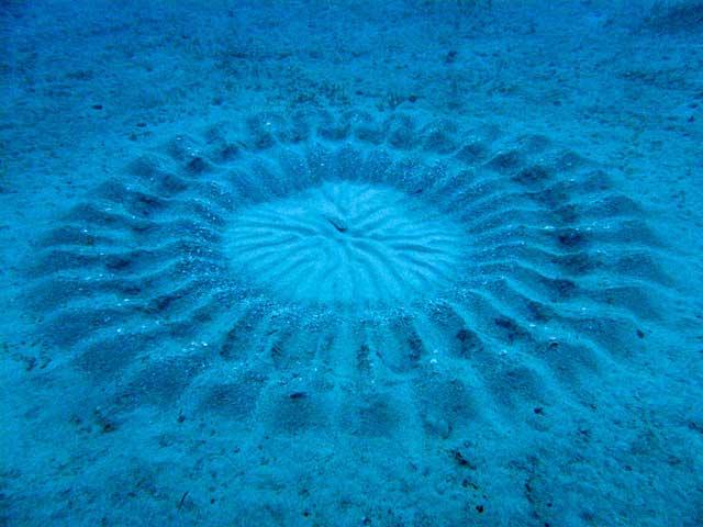 círculos hechos por un pez globo