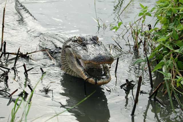 Los cocodrilos comen fruta