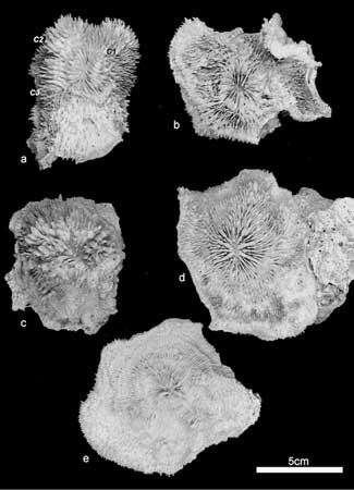 coral Echinophyllia tarae