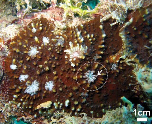 nueva especie de coral Echinophyllia tarae