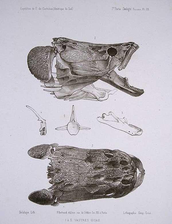 cráneo de pez arapaima de la Amazonía