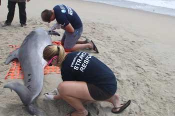 delfín muerto en Virginia en agosto de 2013