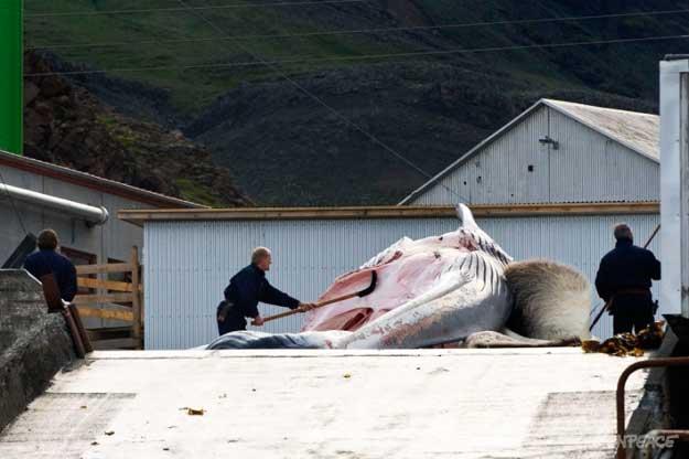 despiece de una ballena en Islandia