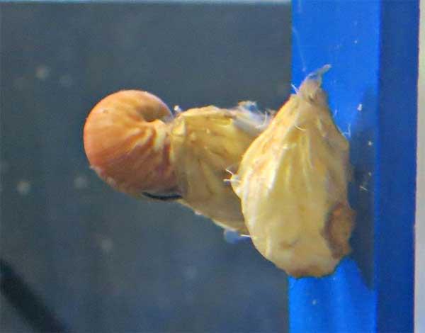 eclosión del huevo de nautilus en el Birch Aquarium