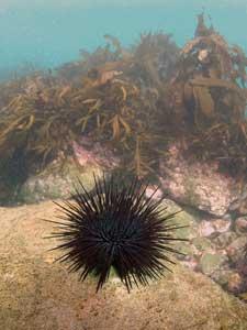 erizo de mar Centrostephanus rodgersii
