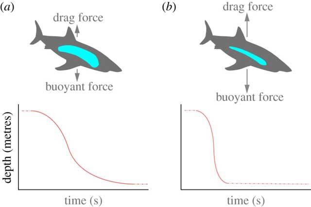 flotación según reserva de lípidos en el higado del tiburón blanco