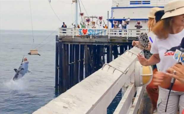 Snuffy la foca de la semana del tiburón