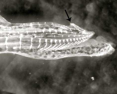 garra en la punta de los genitales del pez guppy