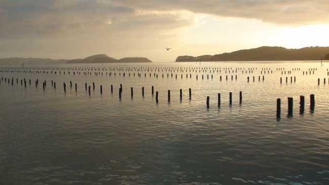 granja de ostras del Pacífico