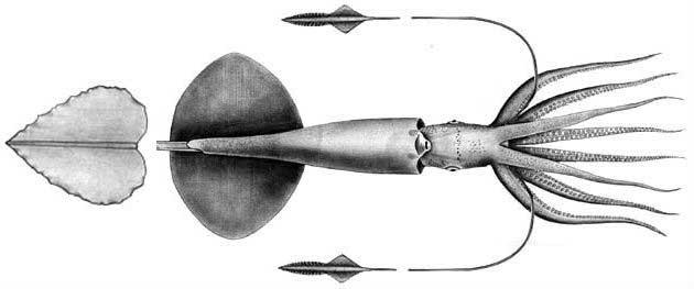 calamar Grimalditeuthis bonplandi, ilustración
