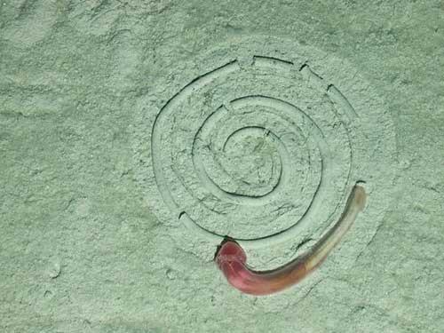 gusano de bellota alimentándose en circulos