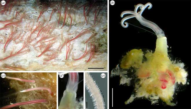 gusanos marinos osedax