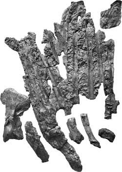 huesos ventrales del Leedsichthys