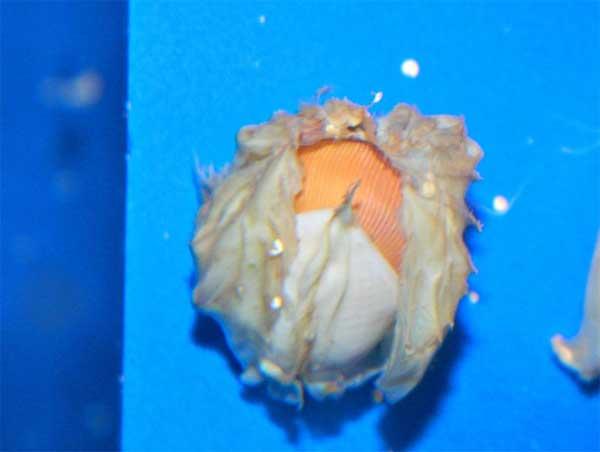 huevo de nautilus en el Birch Aquarium